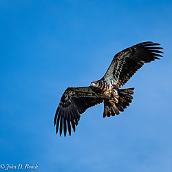 Juvenile_Eagle-2.jpg