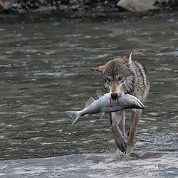 Katmai_Wolf_fishing1-1-PrecisionCameraSep19-NIK_contest.jpg