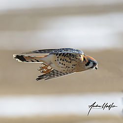 Kestrel_dsc3360_121219_flight.jpg