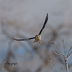 Kestrel_dsc3370_121219_flight_2.jpg
