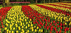 Keukenhof_Garden_Tulips-1.jpg