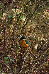 Kingfisher-0647.jpg