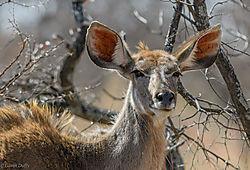 Kudu_female_basking_in_the_morning_light_1_of_1_.jpg