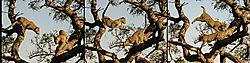 LEOPARDS_IN_A_TREE_TRILOGY_SINGITA_BOULDERS_SOUTH_AFRICA_13_05_1708LR.jpg