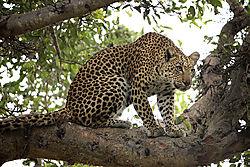 LEOPARD_IN_TREE_SINGITA_LEBOMBO_SOUTH_AFRICA_14_16_8784LR.jpg