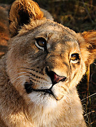 LIONESS_CLOSE_WALKING_WITH_LIONS_LIVINGSTONE_ZAMBIA_V_12_05_1711LR.jpg