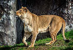 LION_1265r.jpg