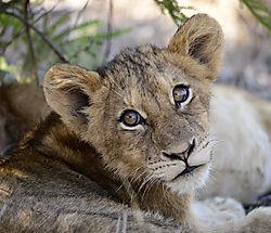LION_CUB_CLOSE_SABI_SANDS_SOUTH_AFRICA_16_05_1961LR.jpg