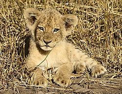LION_CUB_SINGITA_LEBOMBO_SOUTH_AFRICA_14_06_5476LR.jpg