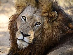 LION_MALE_FACE_CLOSE_HOEDSPRUIT_SOUTH_AFRICA_14_06_6354LR.jpg