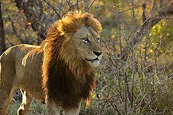 LION_MALE_MORNING_HAZE_CLOSE_SABI_SABI_SOUTH_AFRICA_12_05_7986LR.jpg
