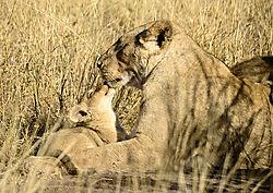 LION_MOM_CUBS_SINGITA_LEBOMBO_SOUTH_AFRICA_14_06_5883LR.jpg