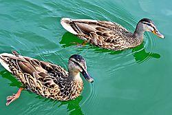 Lake_Ducks.jpg