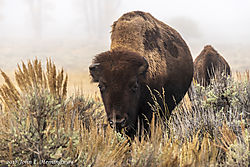 Lamar_Valley_Bison_181001_DSC3405_044.jpg