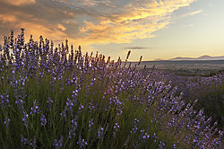 Lavender_Field_6.jpg