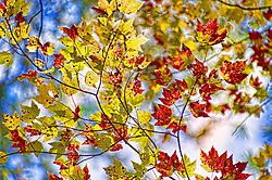 Leaves_Against_the_Sky.jpg