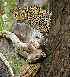 Leopard_with_Waterbuck.jpg