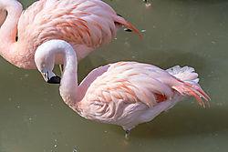 Lesser_Flamingo.jpg