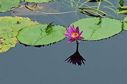Lily_Pad_Flower.jpg