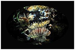 Lion-fish-2.jpg