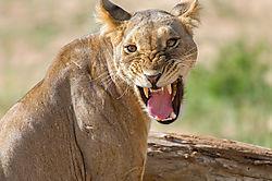 Lion-snarl_72x1800_DRA2212.jpg