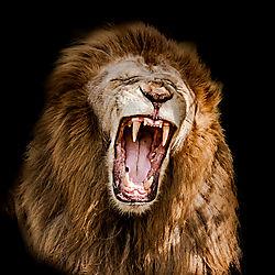 Lions-1.jpg