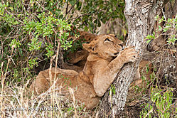 Lions_Kenya_1.jpg