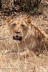 Lions_Kenya_10.jpg