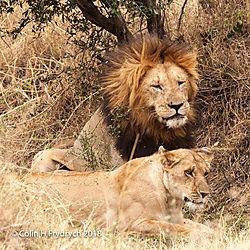 Lions_Kenya_11.jpg