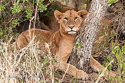 Lions_Kenya_2.jpg