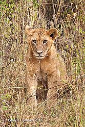 Lions_Kenya_3.jpg
