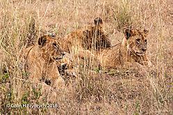 Lions_Kenya_4.jpg