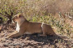 Lions_Kenya_5.jpg
