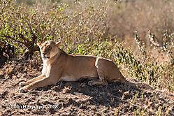 Lions_Kenya_6.jpg