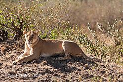 Lions_Kenya_7.jpg