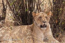 Lions_Kenya_8.jpg