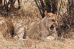 Lions_Kenya_9.jpg
