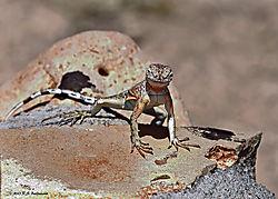 Lizard-At-Montezuma_s-Well-AZ-PPW.jpg