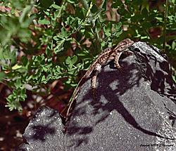 Lizard-Sunning--at-Vasona-Lake-PPW.jpg