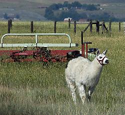 LlamaWorking.jpg