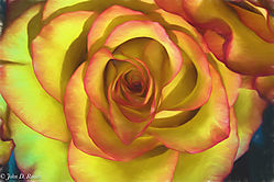 Lovely_Rose_-_O_Keefe_style-1.jpg