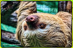Lucy_the_4-Toed_Sloth.jpg