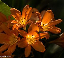 Luminous_Lilies.jpg