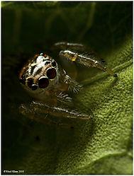 Lyssomanes_viridis1_9-26-10.jpg
