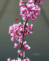 MDS_1727_BacklitRedbud.jpg