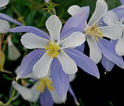 MPIX_1-28-12_Columbine_flower.jpg