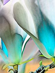 Magnolia7800.jpg