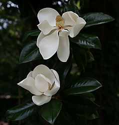 Magnolia_low-4.jpg
