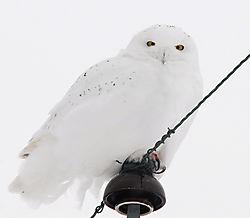 Male-Snowy.jpg