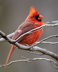 Male_Cardinal-80994.jpg